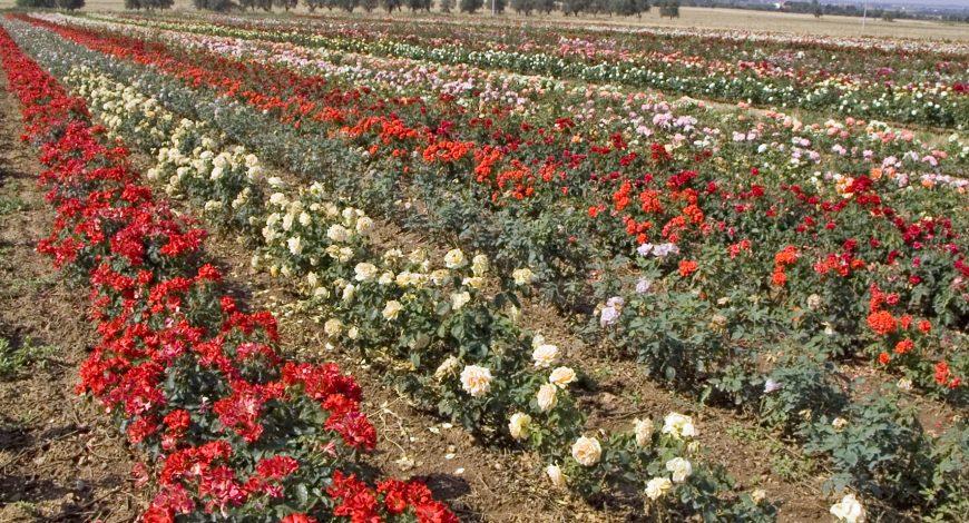 Rose Barni: porte aperte a Rosa Rosae Roselle