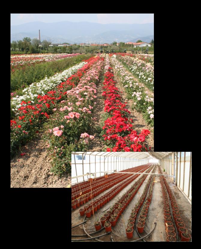 produzione-rose-barni