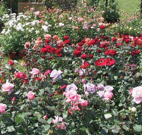 Rosai in varietà