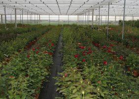 produzione-rose-in-vaso