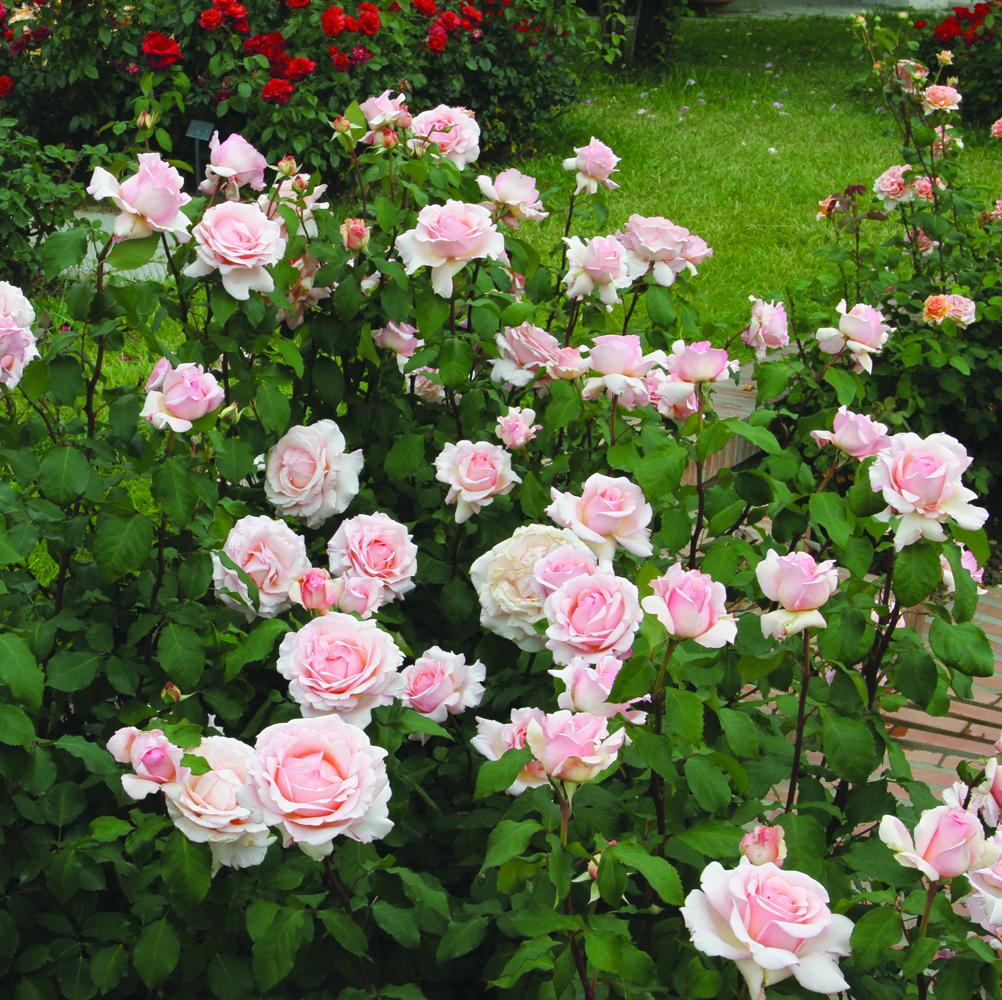 Rose Rampicanti Senza Spine rose barni | rose d'autore dal 1882