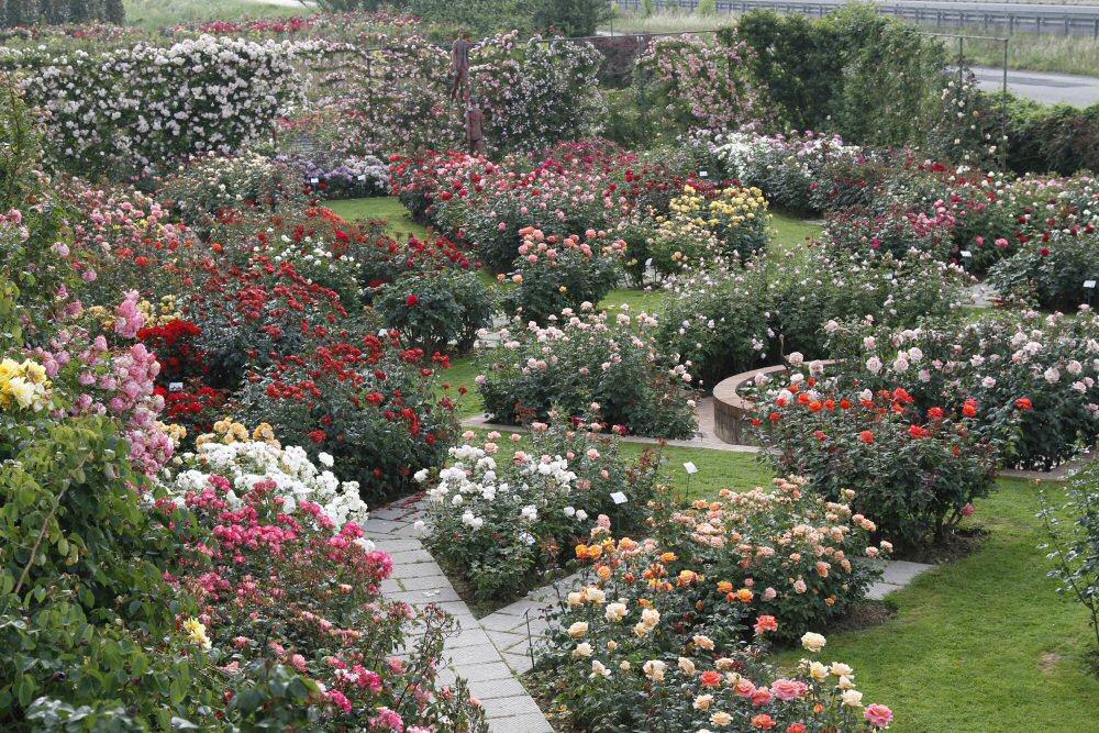 Consigli base per la coltivazione della rosa rose barni - Rose coltivazione in giardino ...