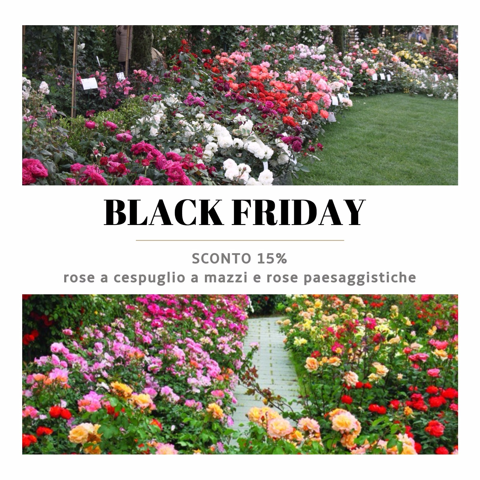 black friday rose barni (1)