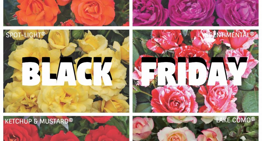 black friday rose barni