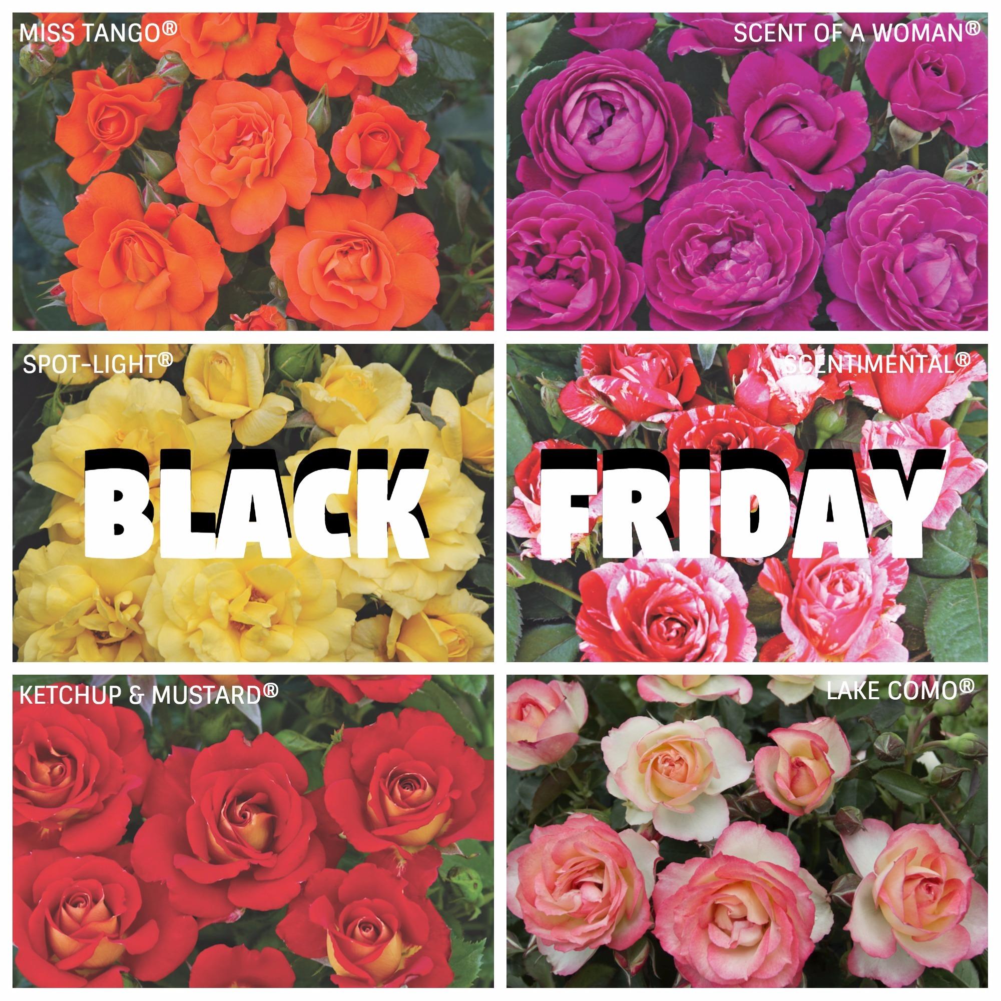 black friday rose barni