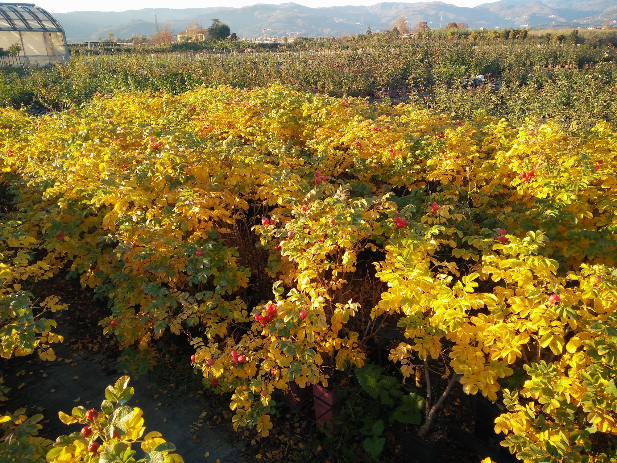 rugose in autunno