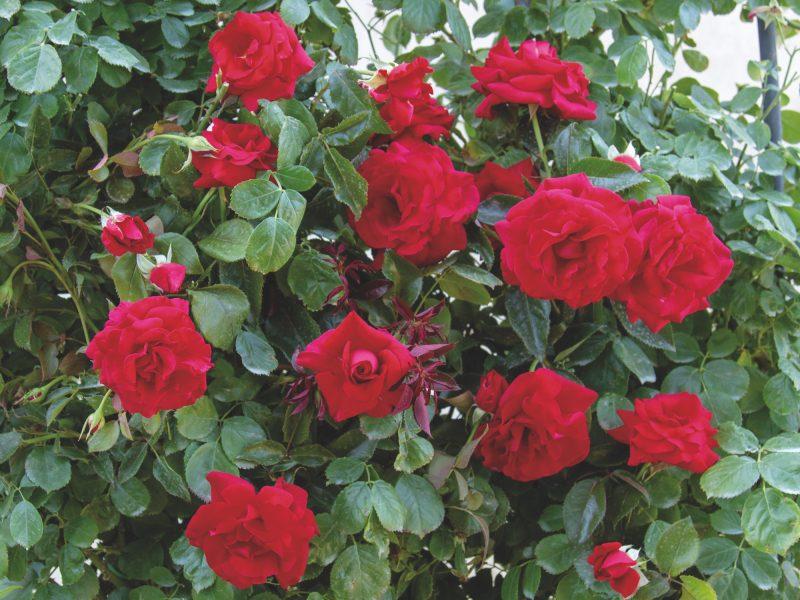RedFlame-rosebarni