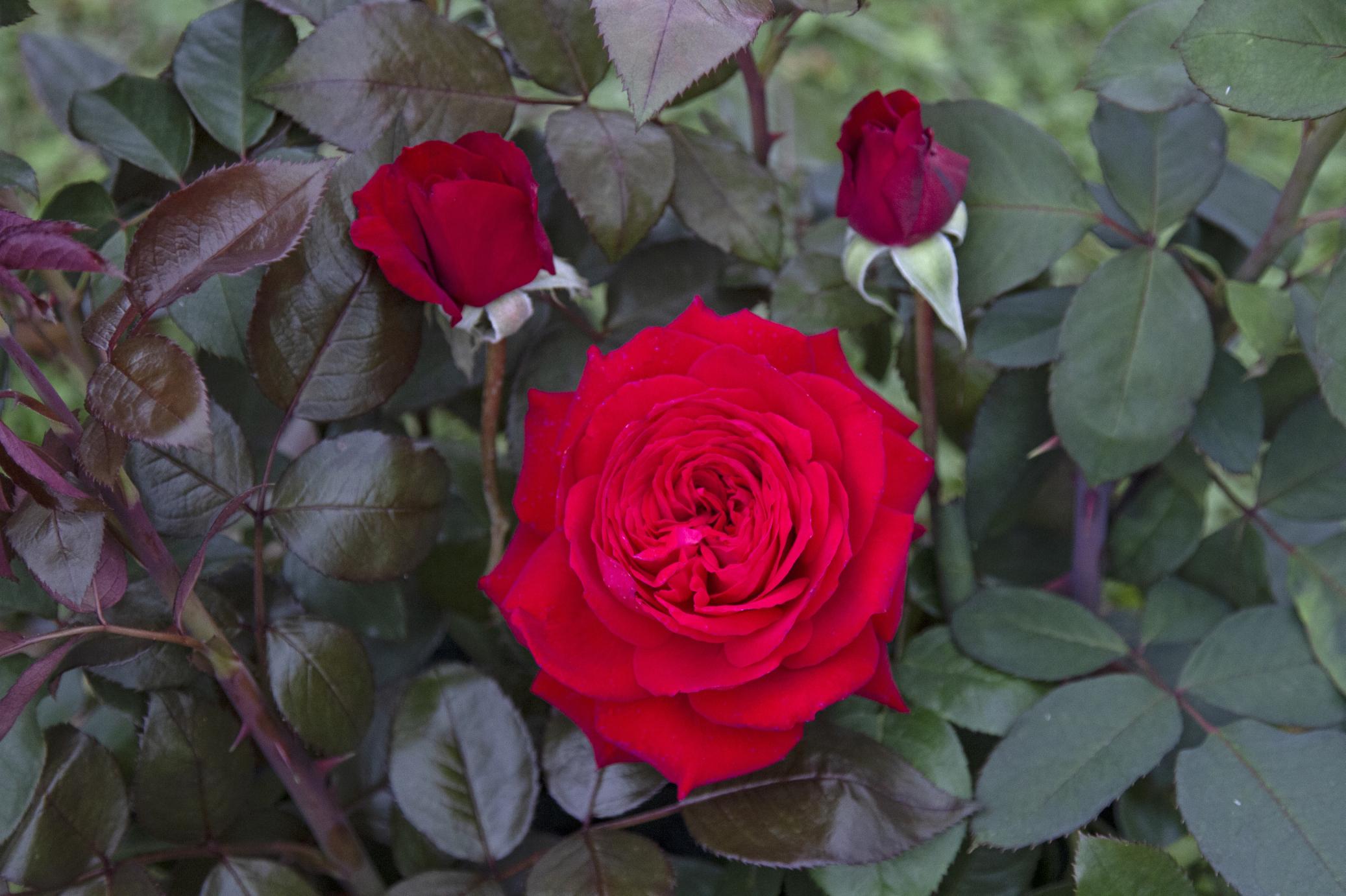 Rosa primo bacio