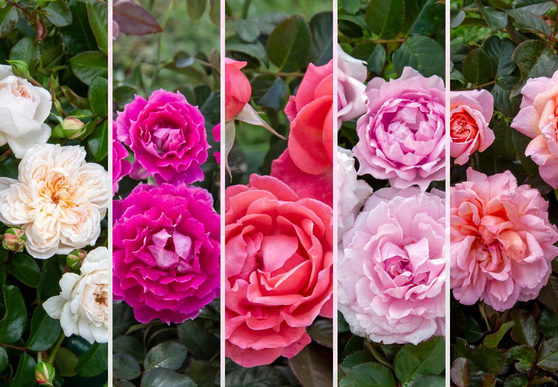 Rose Giapponesi