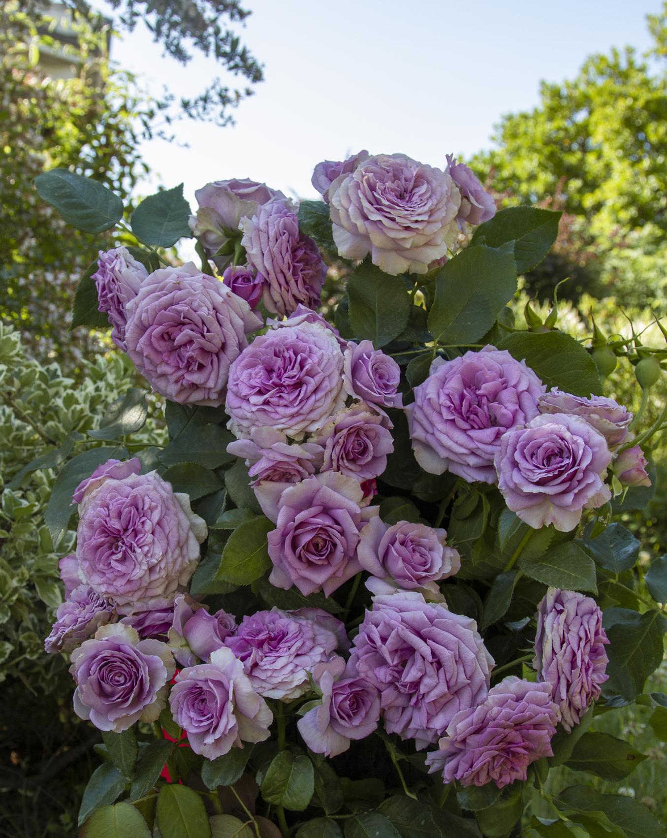 Quicksilver Rose