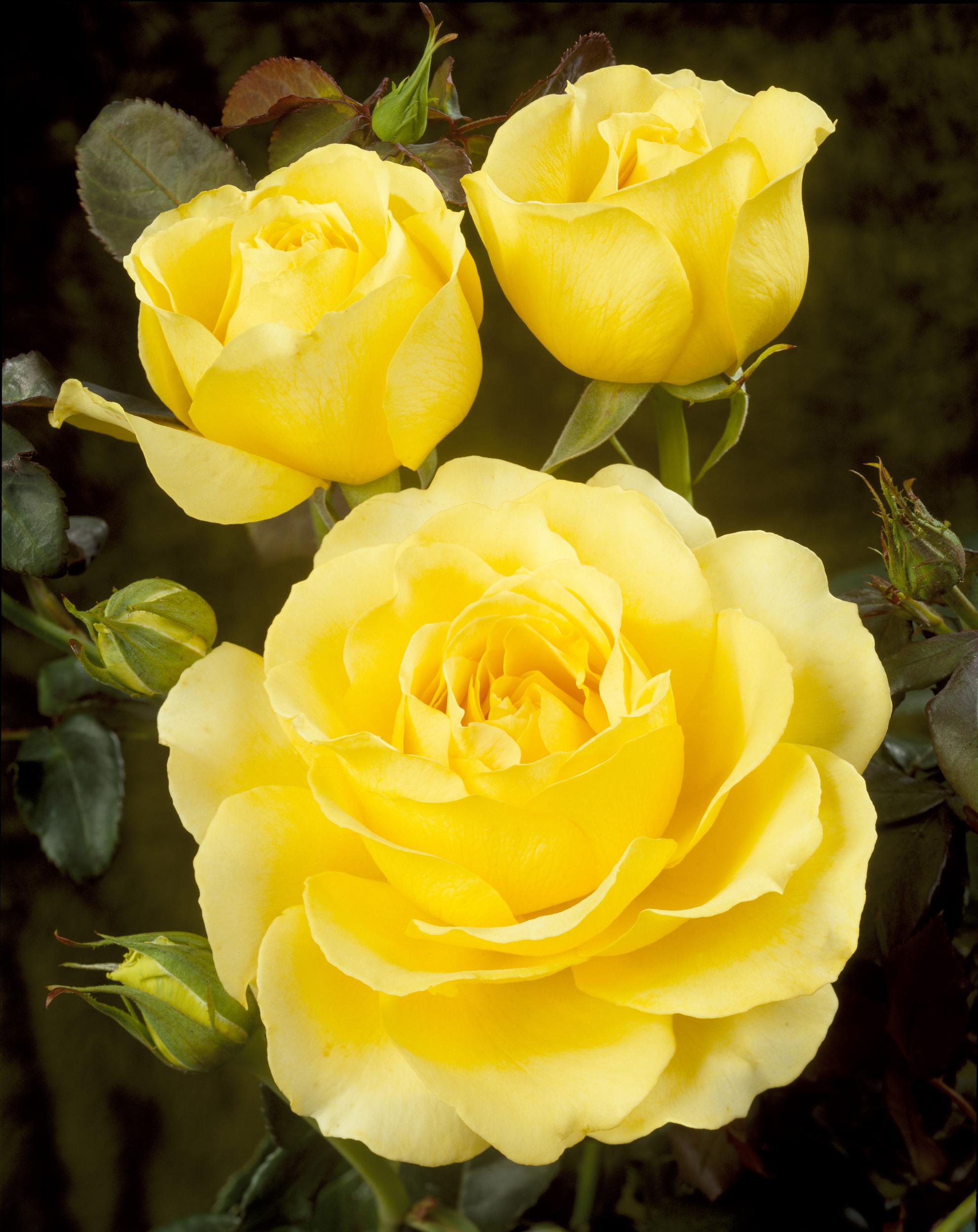 Tivoli Rosa